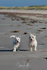 2017 - 11_25 - Portrait - Animals - Dogs - Sushi_Angus 02 (stevenlazar) Tags: largs beachwater sand northhaven puppy 2017 ocean australia dog water animals adelaide white southaustralia scottishterrier