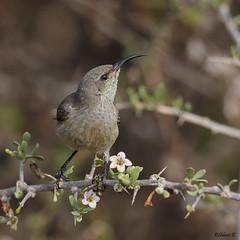 Palestine sunbird (Dave 5533) Tags: palestinesunbird bird wild nature outdoor animal songbirds birds naturephotography birdsinisrael ef300mmf28lisiiusm canoneos1dx birdphotography