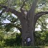 07. Baobab tree - Great East Road (ColaLife) Tags: colalife rohit kyts kytsace chipata