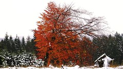 Warm And Cold (Daphne-8) Tags: snow schnee tree baum arbre arbole autumn herbst herfst boom colour kleuren farben colores red rot rood rojo rosso otoño autunno outono automne
