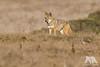 Focused (fascinationwildlife) Tags: animal mammal wild wildlife winter nature natur national park point reyes california usa america coast coyote koyote dusk field tiere predator