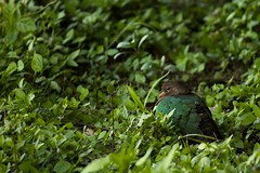 Emerald Dove (Caleb McElrea) Tags: athertontableland farnorthqueensland wettropicsofqueensland worldheritagearea unesco queensland australia rainforest tropical hot biodiversity wildlife wildlifephotography emeralddove curtainfig bird
