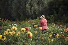 Silence, ça pousse *----+ (Titole) Tags: dahlias dahlia titole nicolefaton flowerproducer florist worker woman 15challengeswinner