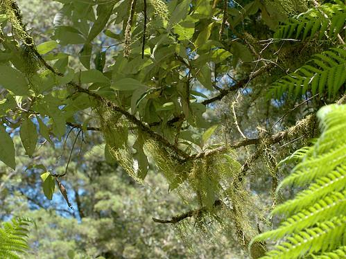 Papillaria flavolimbata Festooon Moss