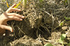 Crops_NR_38 (NRCS Montana) Tags: soil soils soilhealth farm farming farmland alternativecrops notill drylandfarming baker mt oconnor corn soybean volunteer root conservationtillage