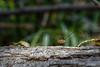 Daddy Long Legs - 112917-105430 (Glenn Anderson.) Tags: nature natural wildlife macro closeup insects bug animals nikon animal waynesbourghpark arachnid predator multipleeyes sigmalens