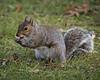 Tasty Snack (MrBlueSky*) Tags: squirrel graysquirrel animal nature outdoor royalbotanicgardens kewgardens london aficionados pentax pentaxart pentaxlife pentaxk1 pentaxawards pentaxflickraward