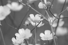 Delicate... (carlo612001) Tags: bud petal blossom blooming flower flowerhead inbloom emotions love bw blackandwhite black white delicate