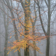 Where autumn's last leaves stay put (Luc B - PhLB) Tags: autumn leaves fog foggy tree trees silhouette color brown orange red grey black white abstract abstraction beuk eik amerikaanse oak american fagussylvatica europeanbeech beech fagus europese