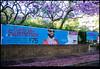 171118-4569-XM1.jpg (hopeless128) Tags: australia trees 2017 sydney jacaranda camperdown newsouthwales au