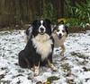 DSC_3653 (capt_tain Tom) Tags: snow doginsnow snowdog austrailianshepherd aussie miniaussie canine cattledog dog dogs blackandwhitedog blueeyeddog