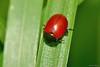 Chrysolina (Melasomoptera) grossa (Fabricius, 1792) (Jesús Tizón Taracido) Tags: coleoptera polyphaga cucujiformia chrysomeloidea chrysomelidae chrysomelinae chrysolinagrossa