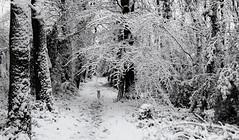 the dog in the woods (HansHolt) Tags: winter snow sneeuw dog hond terrier borderterrier path pad cold koud wood forest bos trees bomen light licht landscape landschap monochrome bw zw canon 6d canoneos6d canonef24105mmf4lisusm sundaylights