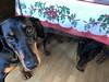 Doberman Pinschers Gabbana and Saxon (Hiding Under The Table) (firehouse.ie) Tags: gabbana saxon tan black dogs k9 pinscher pinschers dobermanns dobermann dobermans doberman dobeys dobey dobies dobie dobes dobe