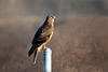 On Watch (Patricia Ware) Tags: california canon circuscyaneus ef400mmf4doisiiusmlens female handheld northernharrier orangecounty httppwarezenfoliocom ©2017patriciawareallrightsreserved specanimal