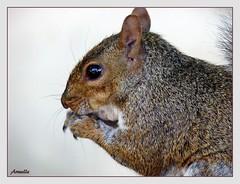 Visitor (Armelle85) Tags: extérieur nature animal rongeur écureuil faune macro
