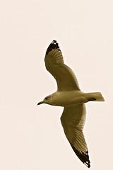 Gull On The Wing (pecooper98362) Tags: binghamton newyork chenengo river chenengoriver noyesislandtrail bird gull seagull laridae gullonthewing lateautumn coldsnap afternoon