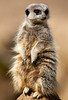 Meerkat (Bernie Condon) Tags: iow zoo iowzoo meerkat animals animal