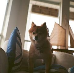 Foxy (marykatharinepayne1) Tags: animal dog pomeranian hasselblad 120mm film