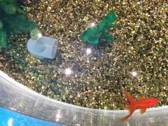 Goldfish (1) #toronto #ripleysaquarium #aquarium #tank #goldfish #koi #latergram (randyfmcdonald) Tags: ripleysaquarium tank latergram goldfish koi aquarium toronto