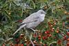 Barred Warbler (S.G.Davis) Tags: barred warbler migrant