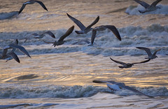 flying (Wöwwesch) Tags: ngc seagulls bye flying sea shoreline coast blue water waves ocean sunset light sun northsea reflection ilce6000 sony sonyalpha november
