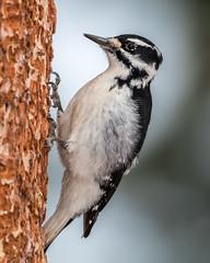 Hairy Woodpecker (Leuconotopicus villosus) (NigelJE) Tags: hairywoodpecker woodpecker leuconotopicusvillosus leuconotopicus picoides picoidesvillosus picidae nigelje lakecountry okanagan