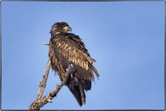 _B080524 (geelog) Tags: alberta baldeagle bowriver calgary fishcreekpark winter