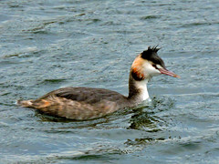 Great crested grebe (Deanne Wildsmith) Tags: grebe greatcrestedgrebe stowepool lichfield staffordshire earthnaturelife