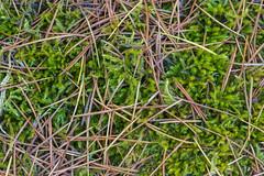 Macro needles (jeff's pixels) Tags: needles macro nature forest