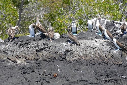 Blue Footed Boobies & Marine Iguanas