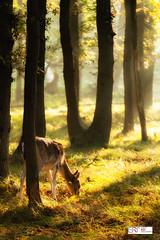 Hertje (Reina Smallenbroek) Tags: reinasmallenbroek hertje deer awd amsterdamsewaterleidingduinen trees bomen light licht
