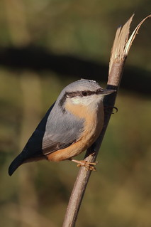 Nuthatch in morning sun_MG_3510