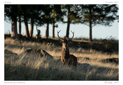 Le brame (BerColly) Tags: france auvergne cantal brame slag cerf deer automne autumn bercolly google flickr