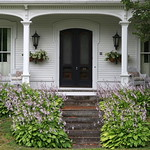 Hostas in bloom, Ellsworth, Maine thumbnail