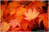 Don't Leave Me Alone - Calder XP7312e (Harris Hui (in search of light)) Tags: harrishui fujixpro2 digitalmirrorlesscamera fuji fujifilm vancouver richmond bc canada vancouverdslrshooter mirrorless fujixambassador xt1 fujixcamera fujixseries fujix fuji60mmf24macro fujiprimelens fixedlens fall autumn fallcolor maple mapleleaves golden neighbourhood nature season velvia