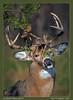 "How To Impress a Doe (Sharon's Nature) Tags: virginia ""shenandoahnationalpark"" antlers buck ""bigmeadows"" shenandoah ""odocoileusvirginianus"" ""whitetaileddeer"" canon"