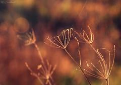 It's Time For A New Umbrella!!! (HiJinKs Media...) Tags: outdoor autumn feeling sun renewal life webs bokeh closeup warmth 7dwf