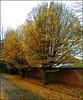 Fallen Leaves ... (** Janets Photos **) Tags: uk nature seasons leaves trees