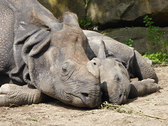 Cuddling (m_artijn) Tags: blijdorp zoo rotterdam nl young rhino calf mom sleeping cuddling cute