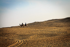 Egypt: Camels Preparing to Fly (johncdwyer) Tags: egypt giza camels landscape
