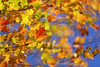 In the Wind (lfeng1014) Tags: inthewind autumncolours autumnsky fallcolours bluesky autumnleaves maple mapleleaves wind autumnmaple fallenleaves colours mapletrees macro macrophotography closeup bokeh canon5dmarkiii 70200mmf28lisii dof depthoffield lifeng