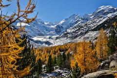 Morteratsch (Daniel.Peter) Tags: gletscher schnee schweiz switzerland dpe3x gelb glacier gold larch larches snow yellow