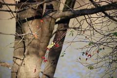 Rood Bridge Park, Hillsboro OR (nikname) Tags: trees roodbridgepark hillsboroor stateparks urbanparks autumn autumnscenes autumnlandscapes
