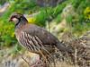 Red-legged Partridge (RIch-ART In PIXELS) Tags: partridge redpartridge bird animal ravine rocks mountainridge madeira portugal leicadlux6 leica dlux6 fauna picodoariero foliage