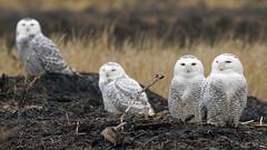 White Owls (photosauraus rex) Tags: raptor bird snowy white owl whiteowl buboscandiacus parliamentofowls vancouver bc canada