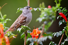 White Crowned Sparrow (Life of David) Tags: california camarillo canon5dmarkiv usa whitecrownedsparrow wildlife zonotrichialeucophrys backyard beautiful beauty bird nature pretty world100f