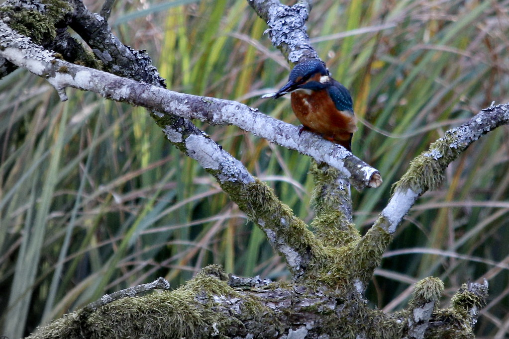The world 39 s best photos of kingfisher and scotland for Fish branch tree farm