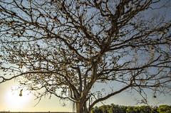 (Hélder Santana) Tags: héldersantana heldersantana santana photography fotografia brasil brazil hdsantana céu sky ceu tree árvore arvore sol sun sunlight day dia daylight colors cores natural light luz naturallight luznatural goldenhour sunset pordosol chiaroscuro claro clear escuro dark contraste contrast lowkey lens zoom wide tokina 1116 tokina1116 tokina1116mm 28 f28 tokina1116mmf28atx116prodx tokina116 tokina1116f28atx116prodx tokina1116f28atxpro filter filtro cirpl cpl hoyacircularpolarizer hoyahd circularpolarizer polarizer d7000 nikon nikond7000 d7k dslr nature natureza flora contraluz backlight ninho nest pe pernambuco landscape paisagem