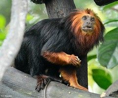 Golden-headed Lion Tamarin - Leontopithecus chrysomelas (HGHjim) Tags: goldenheadedliontamarin leontopithecuschrysomelas goldenheaded lion tamarin leontopithecus chrysomelas goldenheadedtamarin